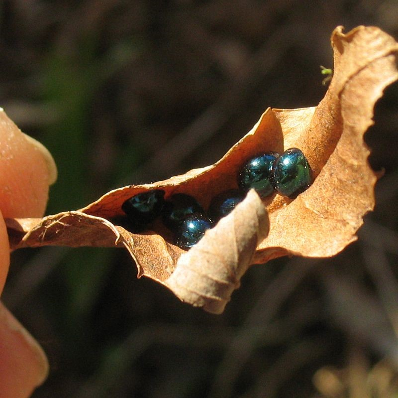 Leaf Beetles (?) (Chrsyomelidae) - TBC    Recorded by Jackie Miles in Brogo