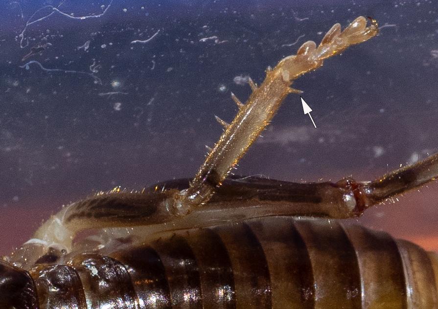 Figure 6: dorsal spine on tibia of middle leg (arrow)