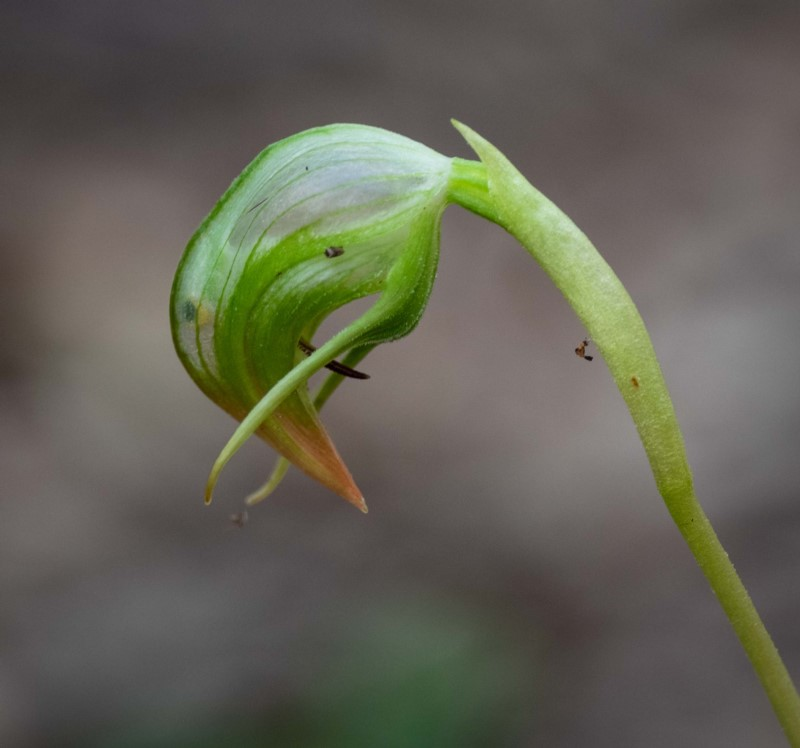 Pterostylis nutans    Recorded by Kerri-Lee Harris in Wonboyn