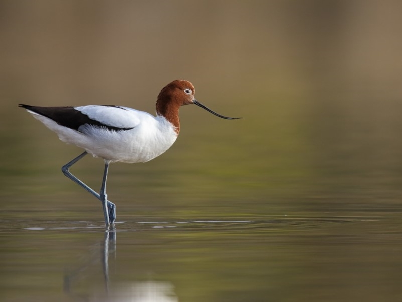 Red-necked Avocet  Recorded by Leo Berzins in Eden