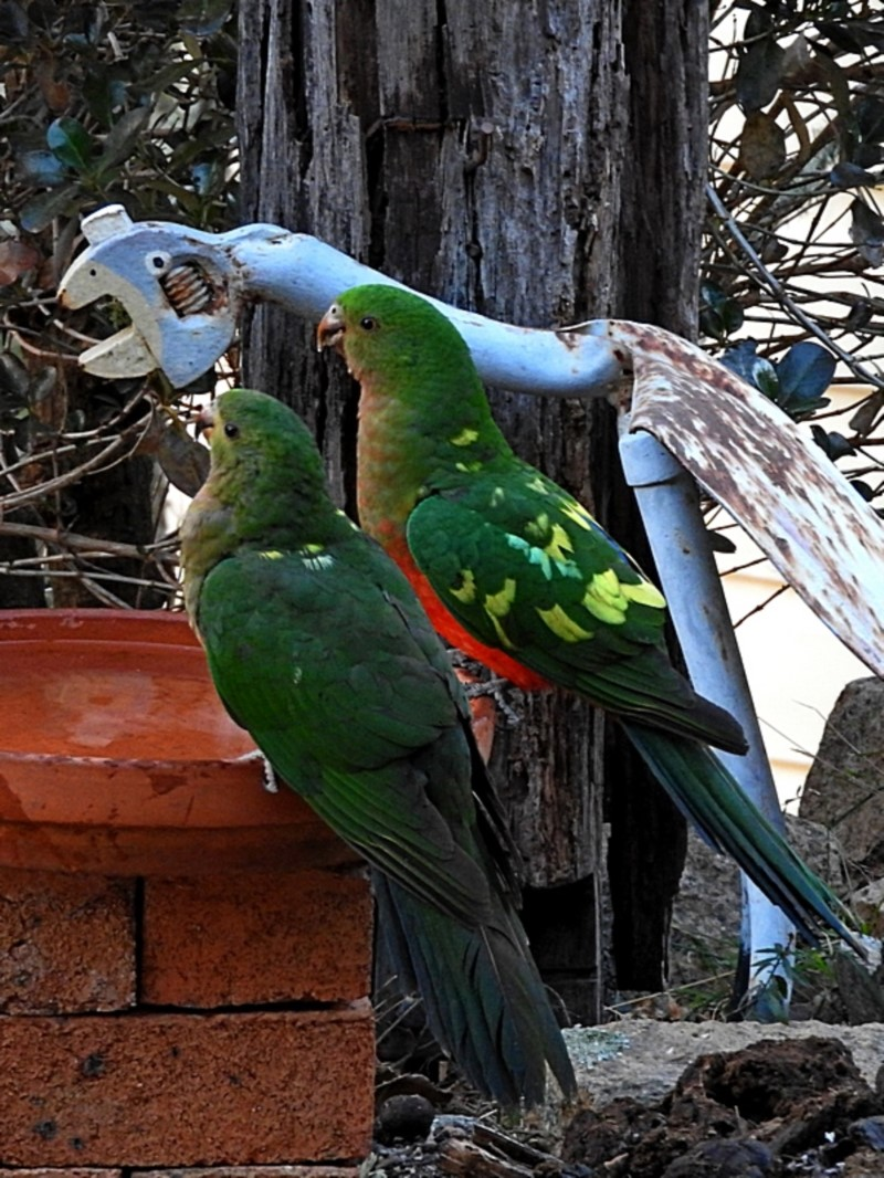 King Parrots  Recorded by Max Campbell, Brogo