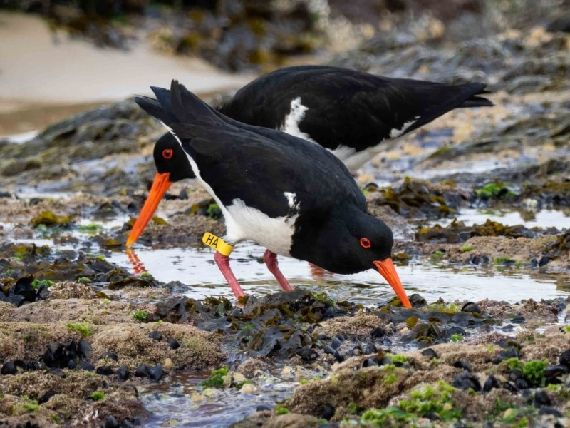 Pied Oystercatchers  Recorded by Kerri-Lee Harris at Wonboyn