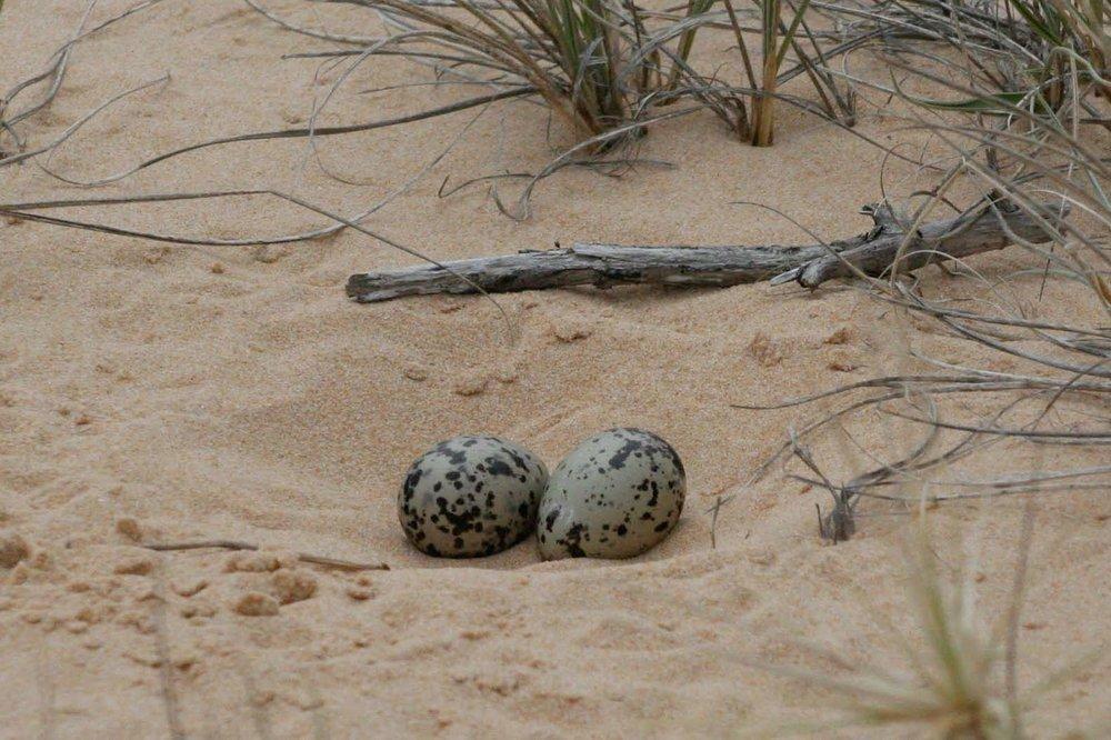 Pied Oystercatcher nest