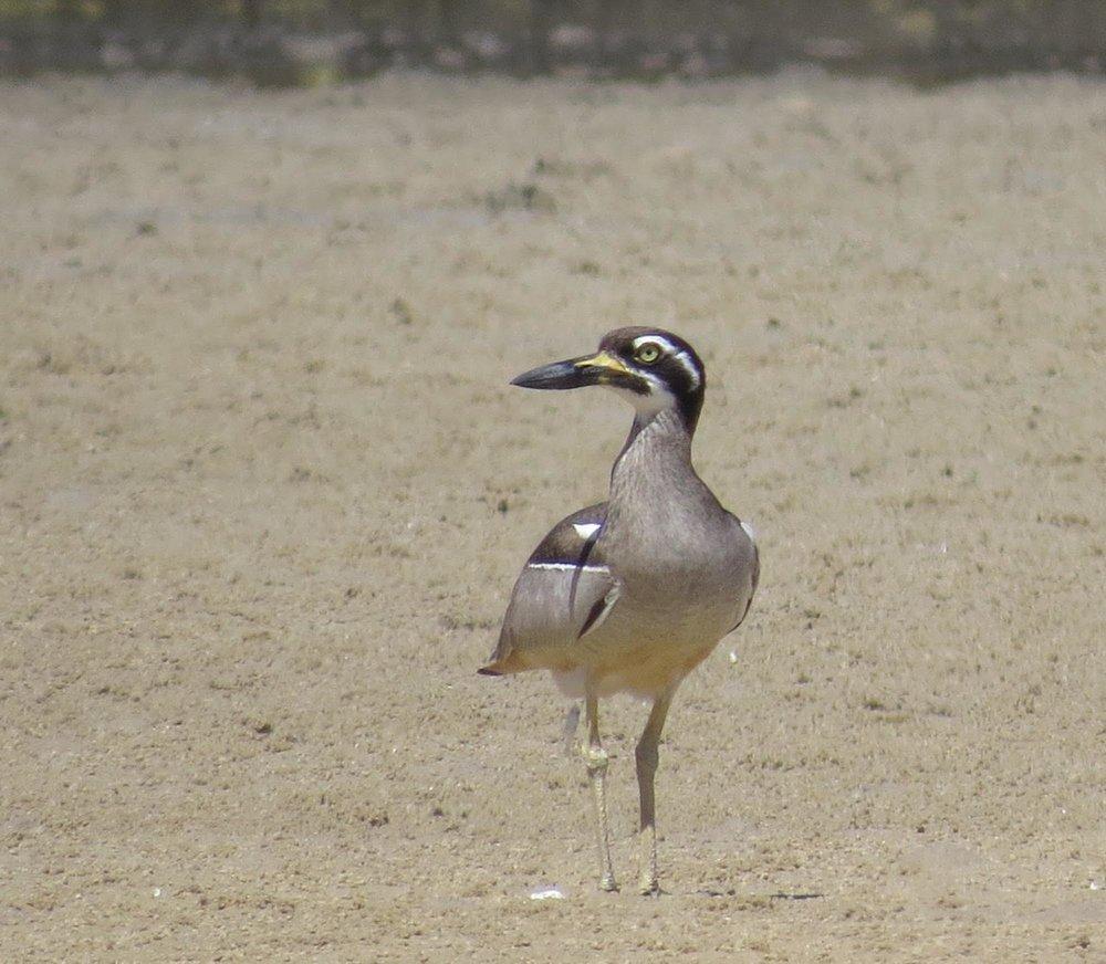 Beach Stone-curlew