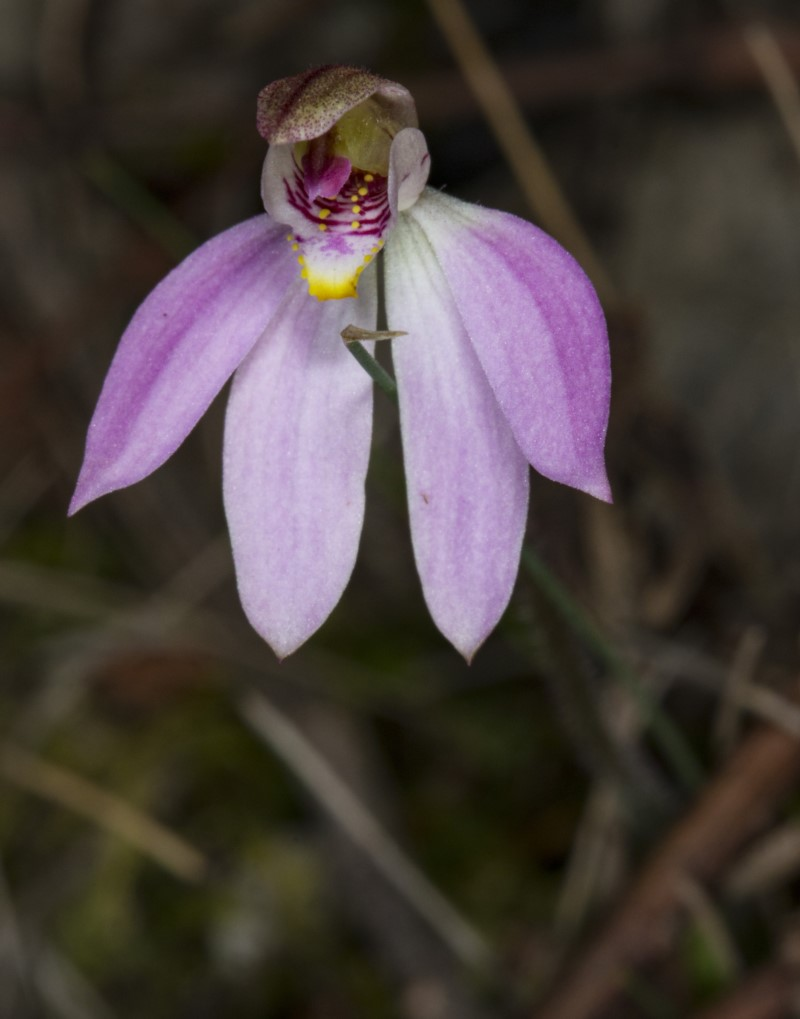 Caladenia carnea  (Pink Fingers)  Recorded by Derek C, Murramarang National Park