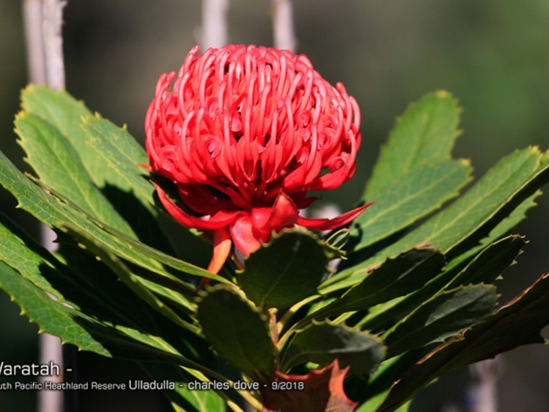 Telopea specialissima  (NSW Waratah)  Recorded by Charles Dove, Ulladulla