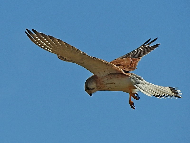 Falco cenchroides  (Nankeen Kestrel)  Recorded by Max Campbell, Buckajo