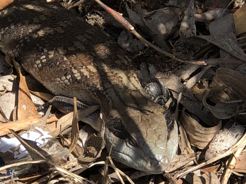 Tiliqua scincoides  (Eastern Blue-tongue)  Recorded by Libby Hepburn, Merimbula