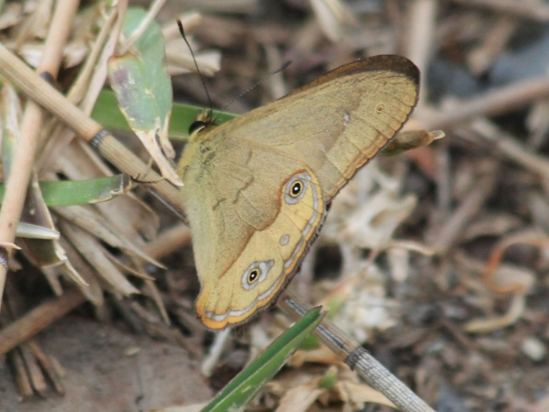 Hypocysta irius  (Orange Streaked Ringlet)  Recorded by C.Brandis, Dolphin Point