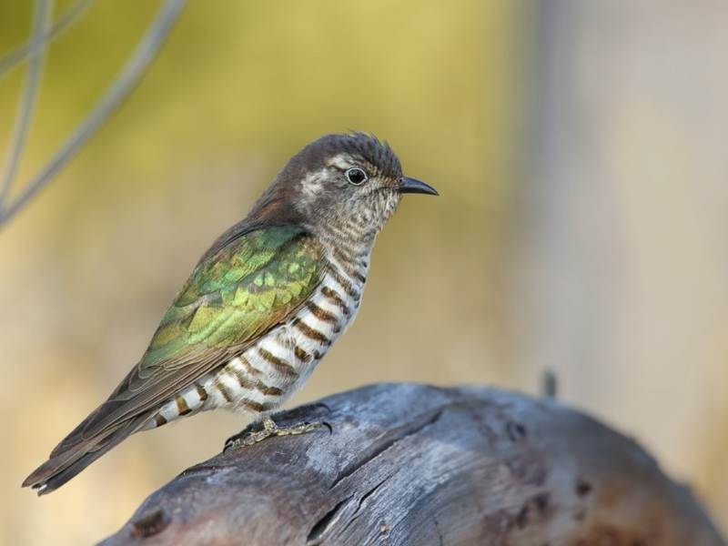 Chalcites lucidus  (Shining Bronze-cuckoo)  Recorded by Leo Berzins, Pambula