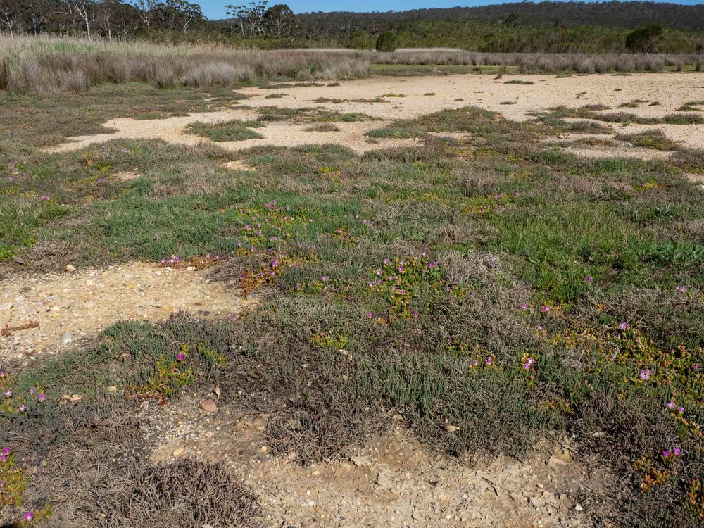 Coastal Saltmarsh at Panboola