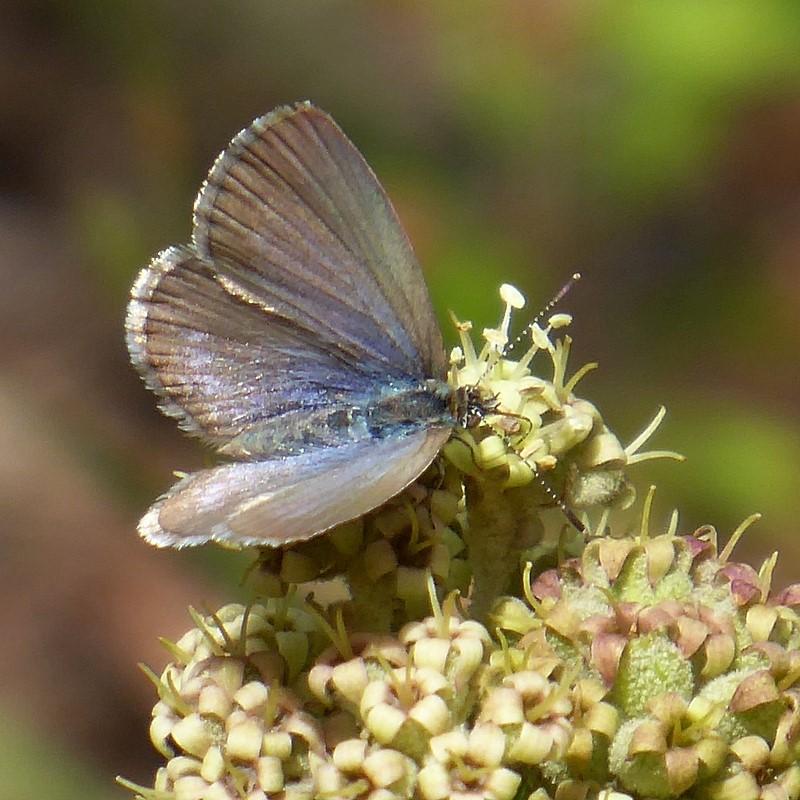 grass blue butterfly