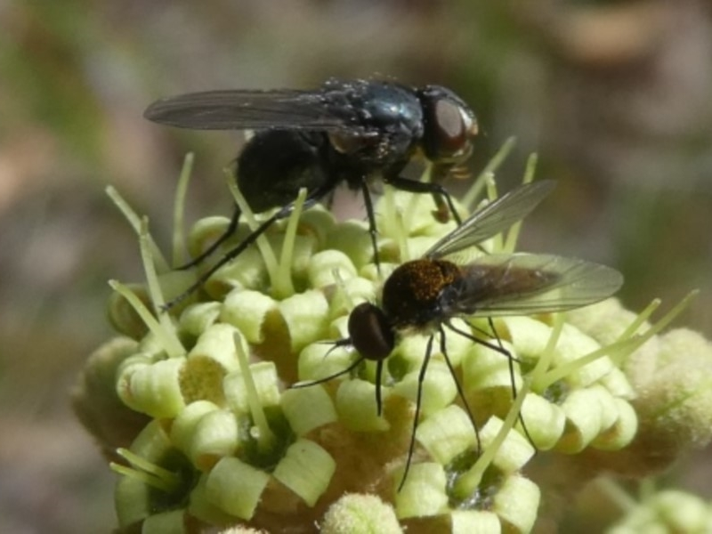 muscid fly (with bee fly)