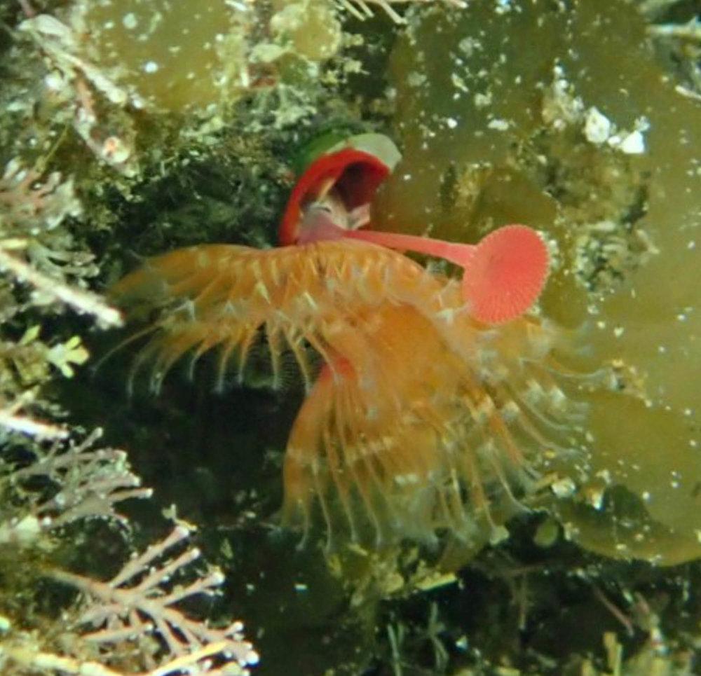 tube worm