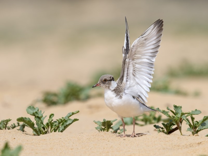 Hooded Plover (Juvenile)