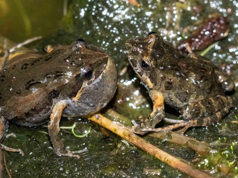 Common Eastern Froglet or 'Clicking Froglet'  Recorded by Kerri-Lee Harris, Wonboyn