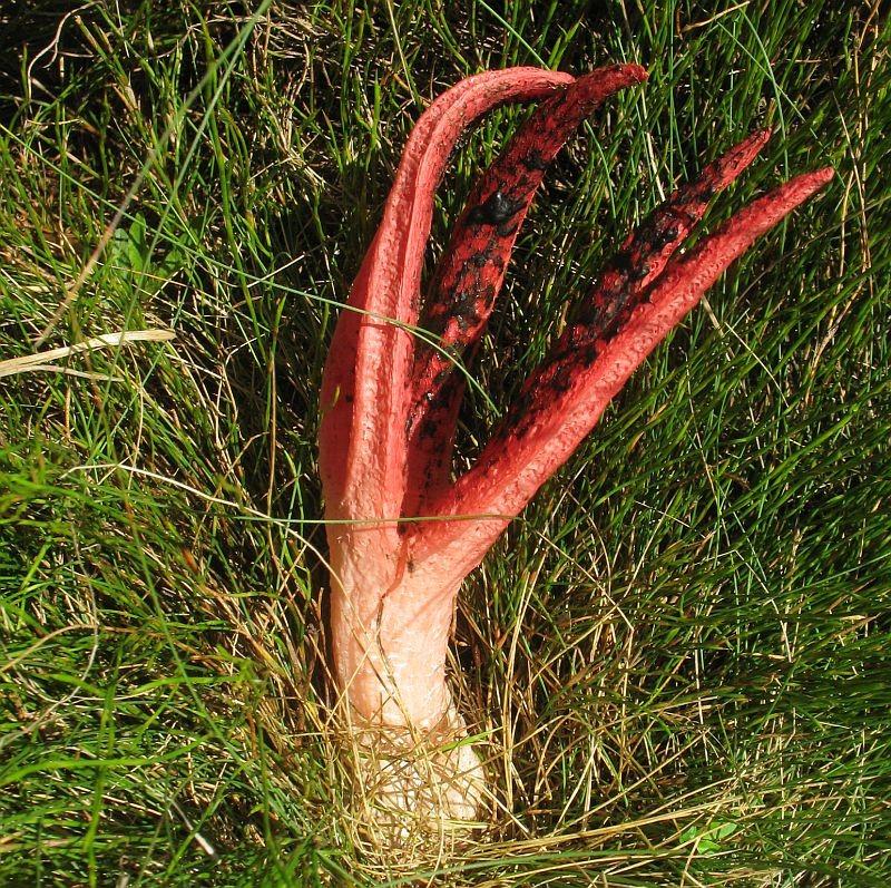 Clathrus archeri  (Seastar or Octopus Stinkhorn) …  view sighting by Jackie Miles  (ALCW)