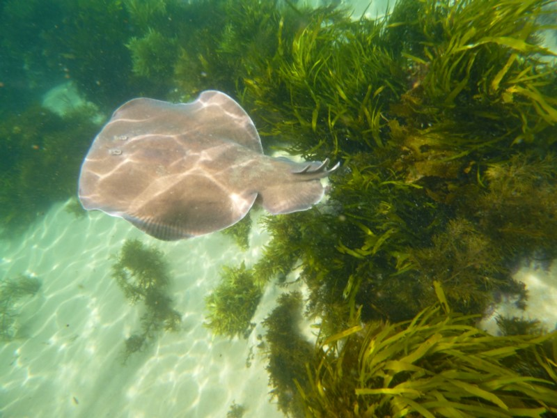 Hypnos monopterygium  (Numb Ray, Coffin Ray) …  view sighting by Liz Allen  (ALCW)