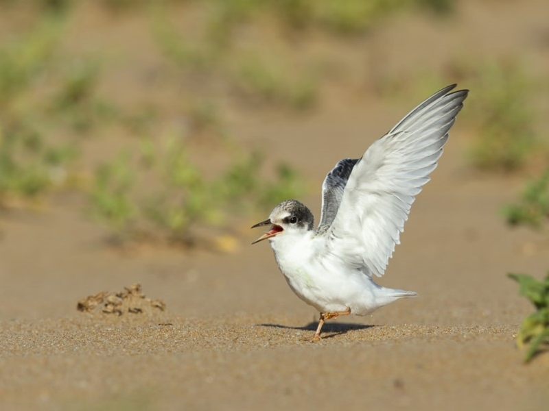 A fledgling Little Tern ( Sternula albifrons ) ….  view sighting by Leo Berzins  (ALCW)