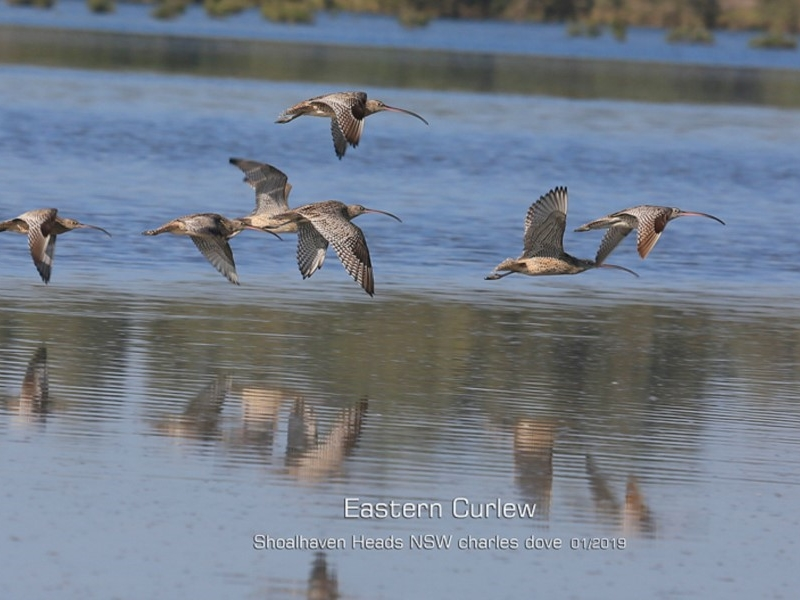 Eastern Curlew ( Numenius madagascariensis ) …  view sighting by Charles Dove  (ALBC)