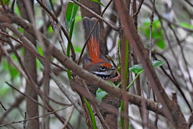Rufous Fantail ( Rhipidura rufifrons ) …  view sighting by Max Campbell  (ALCW)