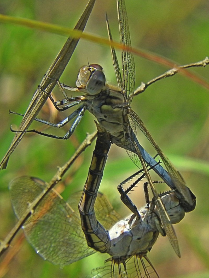 Orthetrum caledonicum (Blue Skimmer) …  view sighting by Max Campbell  (ALCW)