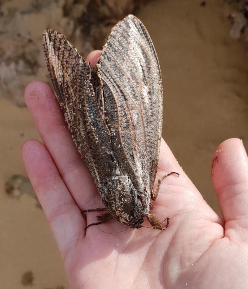 Wattle Goat Moth
