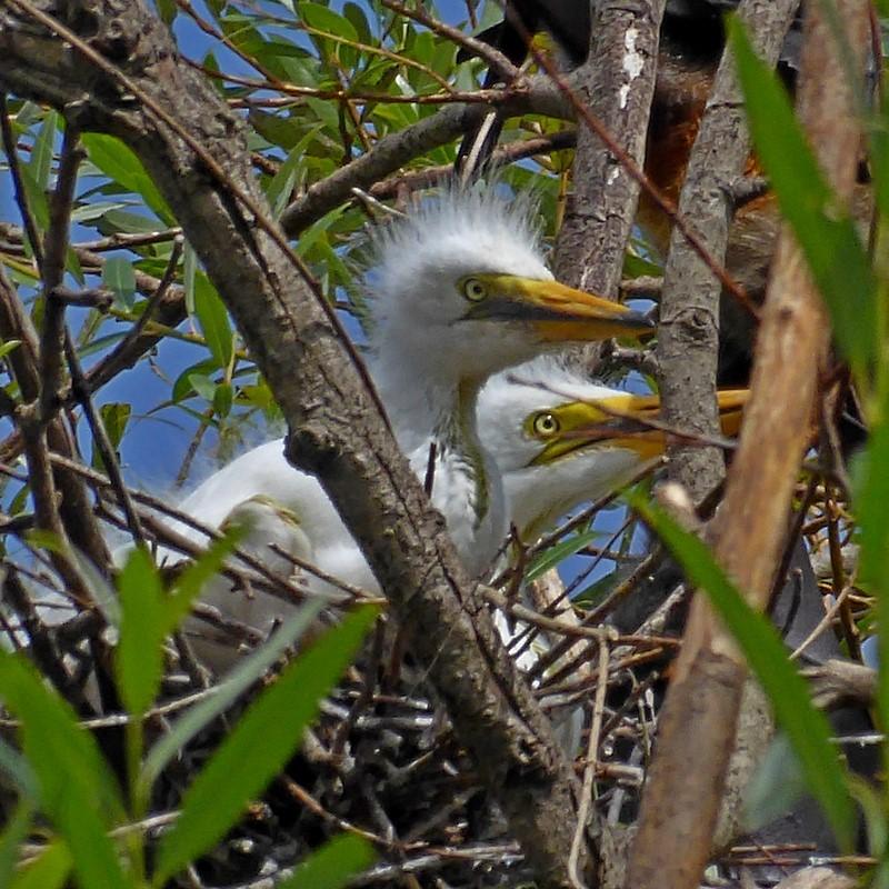 Great Egret - chicks