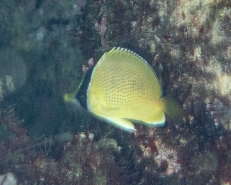 Speckled butterflyfish