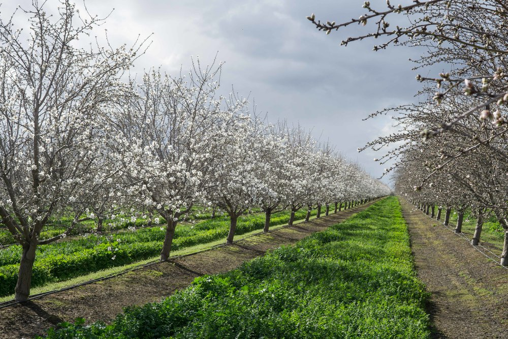 Orhards in bloom late February in Madera County by Kim Lawson.