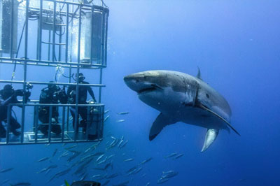 Dare to swim with one of the most feared predators of the oceans? South Africa has the biggest population of The Great White Sharks, and you can go diving with them.