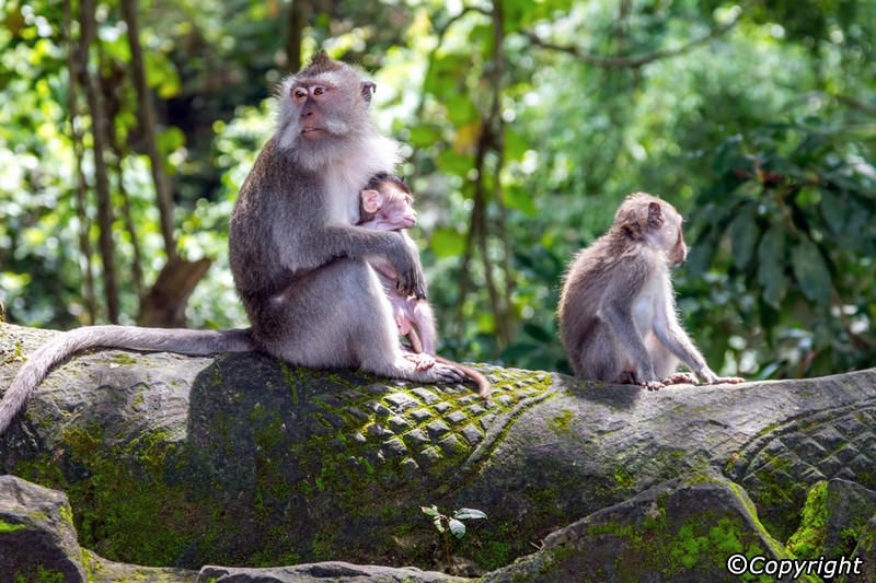 Ubud Monkey Forest is a place of scientific research as well as a site of spiritual and cultural aspects with temples sanctified by the local villagers deep within its grounds.
