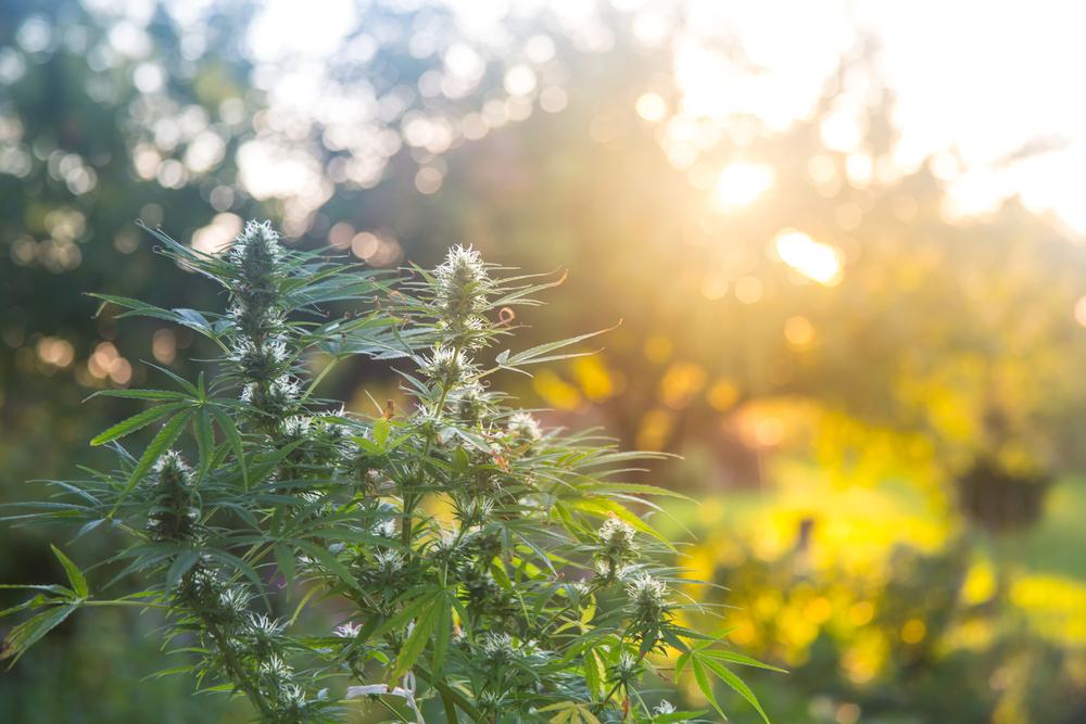 Eucalyptol - cannabis plant