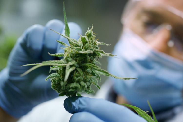 Linalool medical professional looking at bud