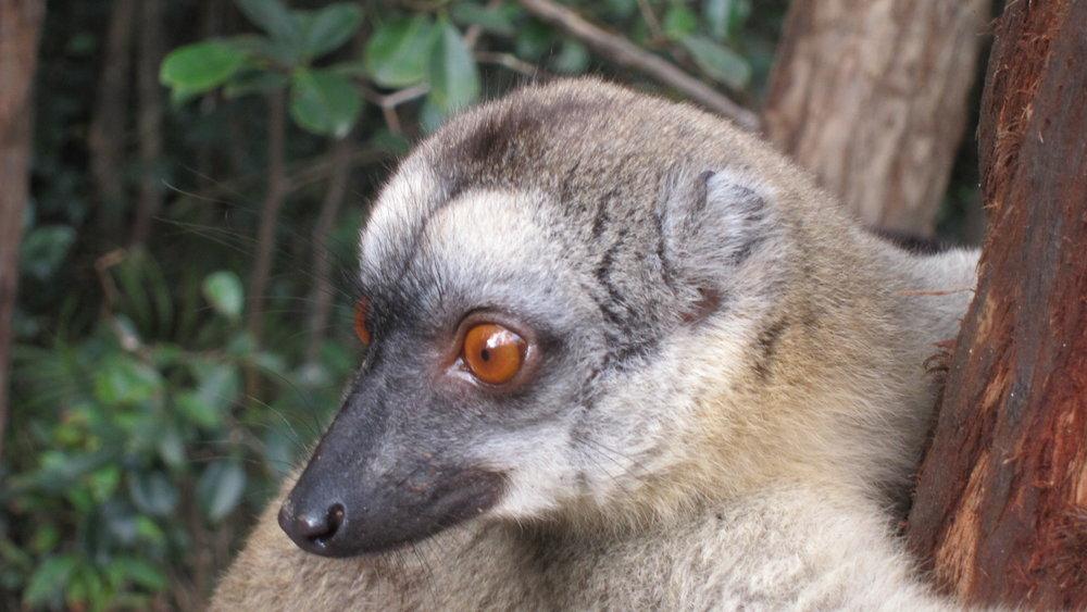 lemur - Madagascar 182.JPG