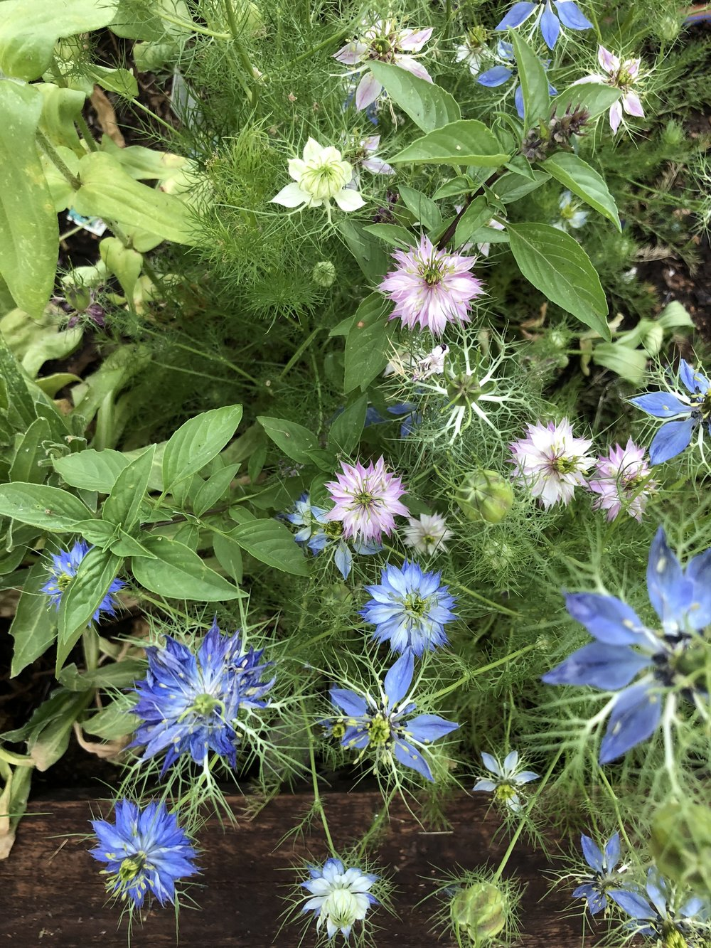 Nigella - Love in a Mist! So soft and detailed. I love saving the seed pods for drying.