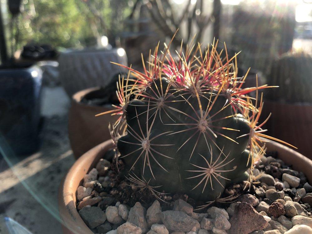 Thelocactus tri color loving the heat.