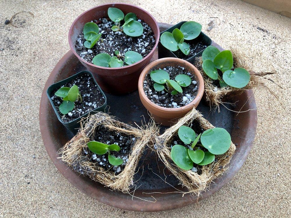 I propagated my Pilea. NINE BABIES!