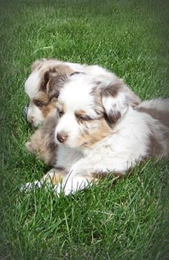 Genetics-Pups.png