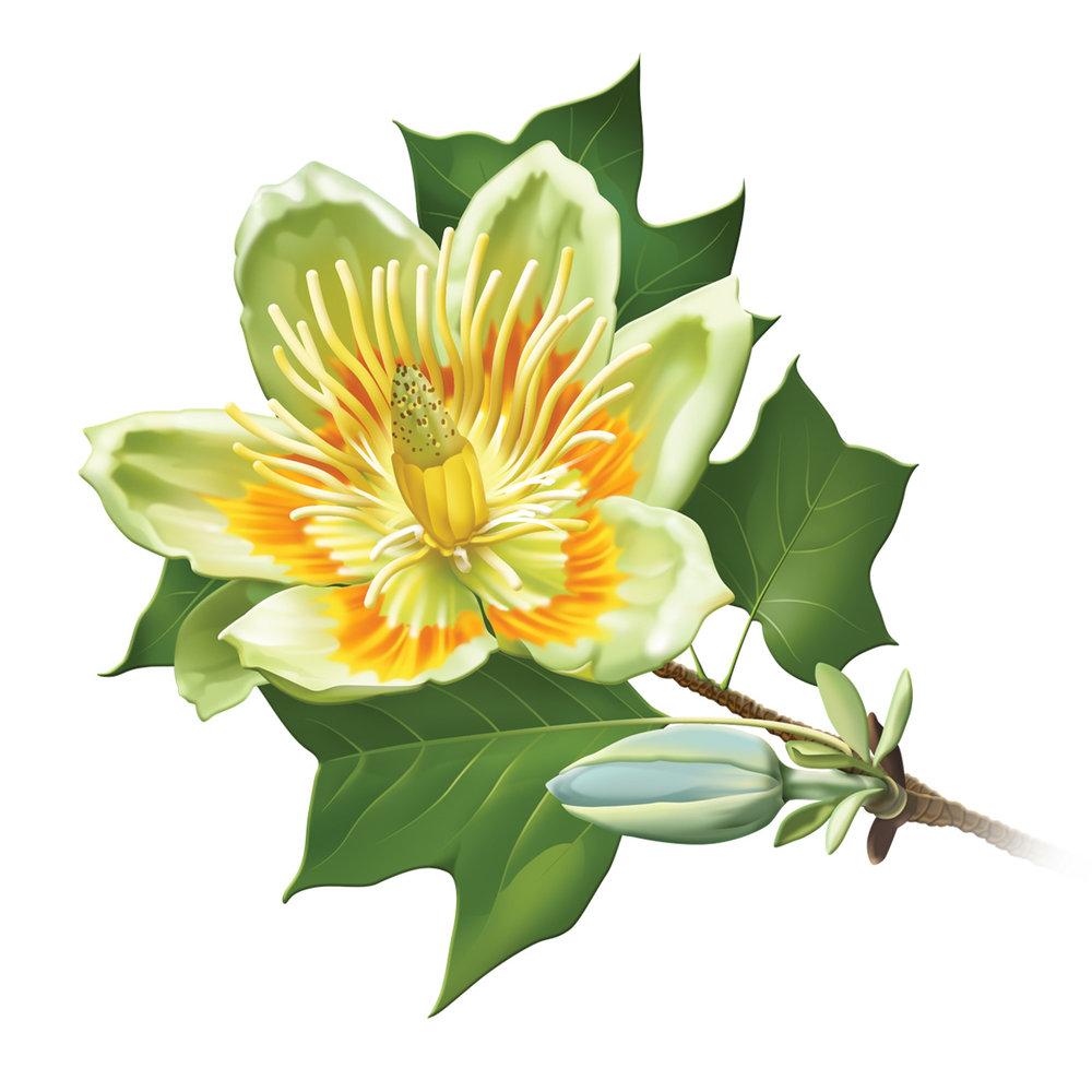 tulip poplar.jpg