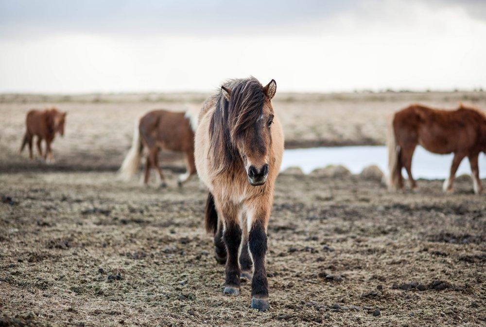 homeopathy-horses.jpg