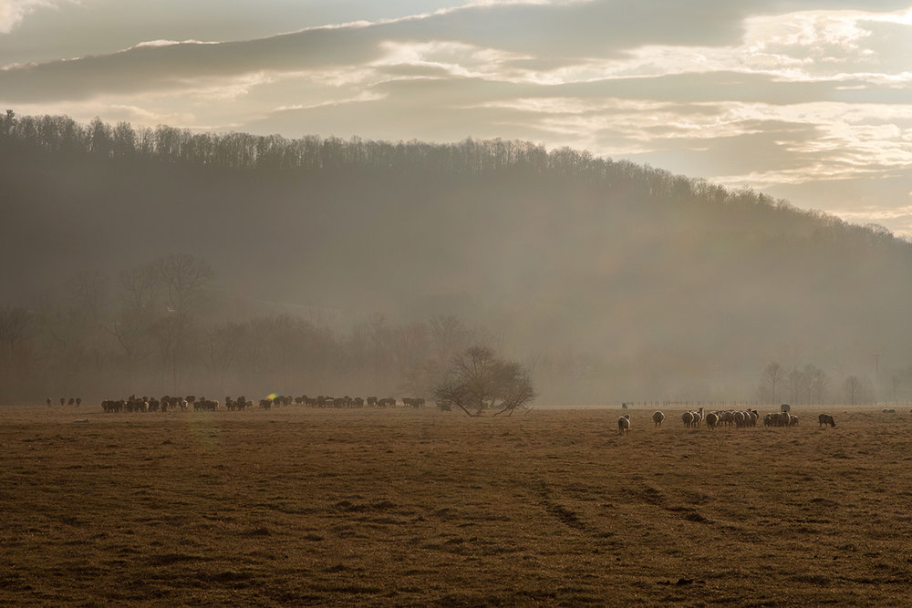 Molly_Peterson_sheep_safely_grazing_085.jpg