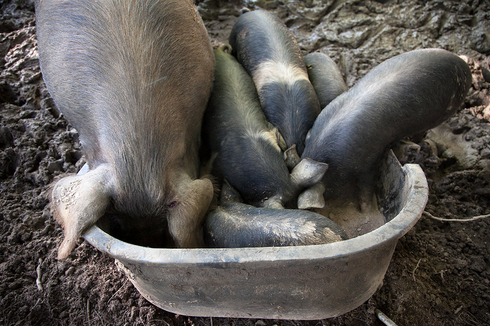Kelly_Hensing_pigs_eating_036.jpg