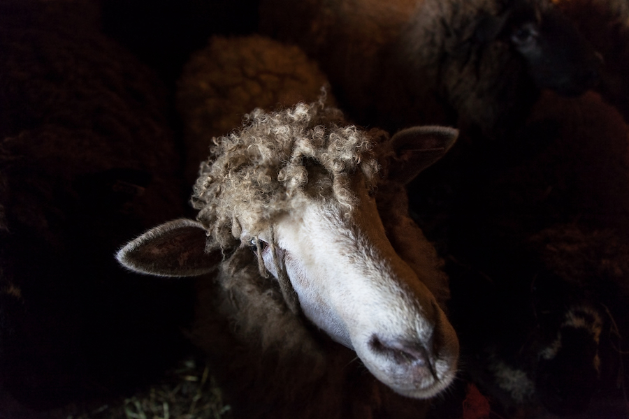 Shannon_Varley_sheep_050.jpg