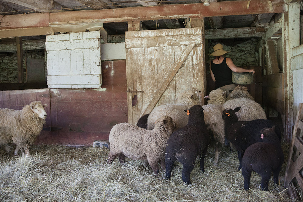 Shannon_Varley_feeds_her_sheep__270.jpg