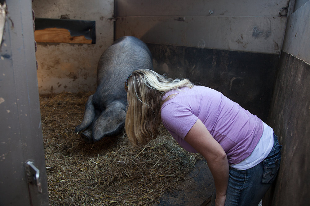 Kelly_Hensing_coaxing_pig_from_trailer_14.jpg