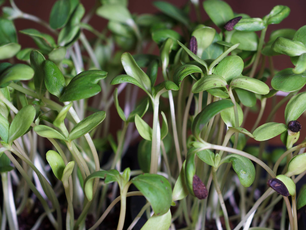 Sunflower sprouts from Spring Creek Veggies (photo by  Zachary Cross )
