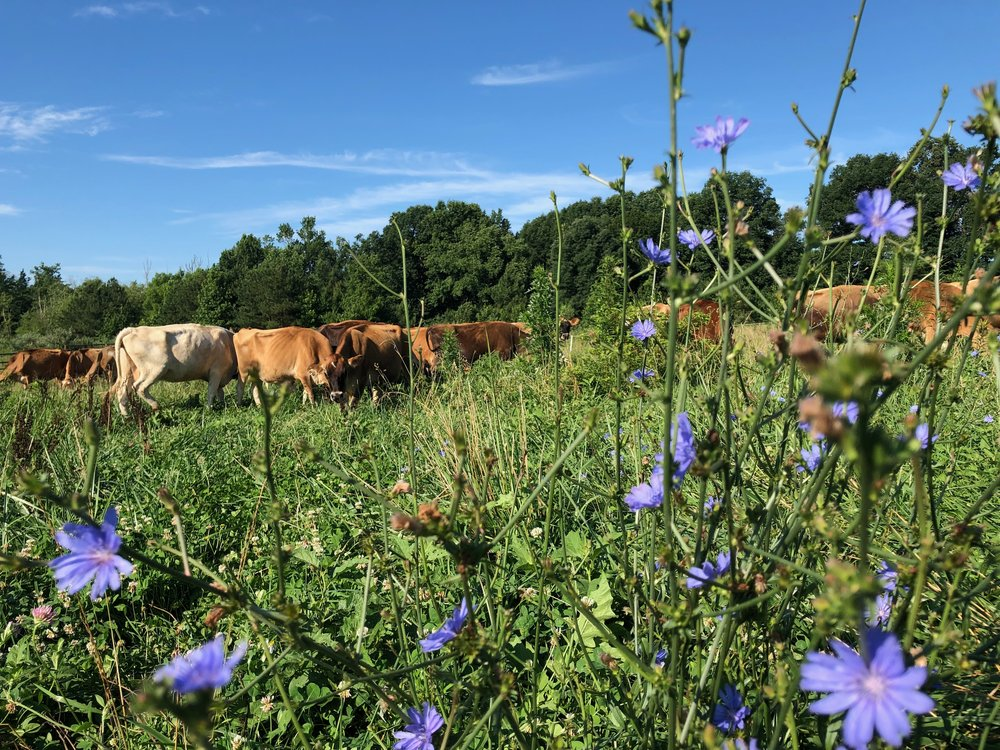 Orchard House Creamery cows' diet is primarily grass.