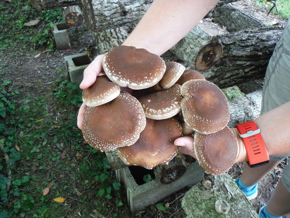 Log-grown shiitakes