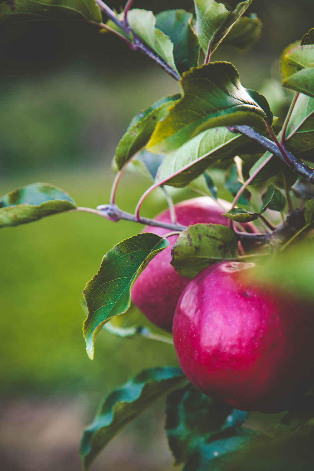 AutumnMotuekaRiverLodge_apple.jpg